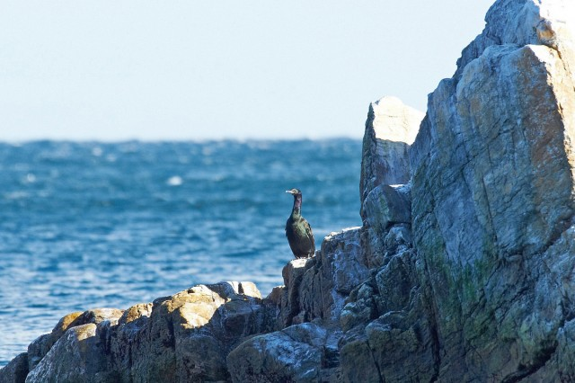 Pelagic Cormorant  Фотограф: VictorV Берингов баклан  Просмотров: 737 Комментариев: 2