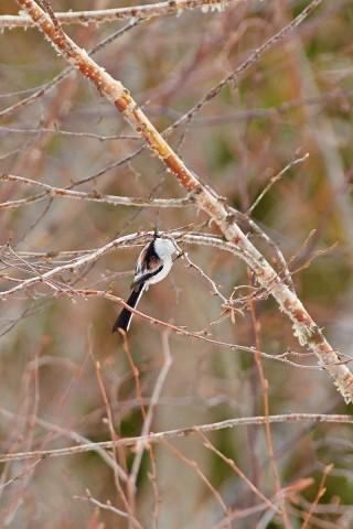 Long-tailed Tit Фотограф: VictorV Ополовник  Просмотров: 581 Комментариев: 0