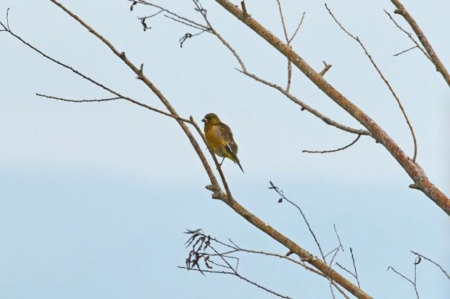 Китайская зеленушка Фотограф: VictorV Grey-capped Greenfinch  Просмотров: 349 Комментариев: 0