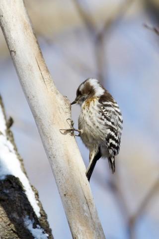 Хоть и маленький, но дятел )) Фотограф: VictorV Japanese Pigmy Woodpecker  Просмотров: 833 Комментариев: 0