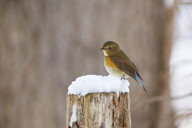 Синехвостка Фотограф: VictorV Orange-flanked Bush-robin  Просмотров: 441 Комментариев: 1