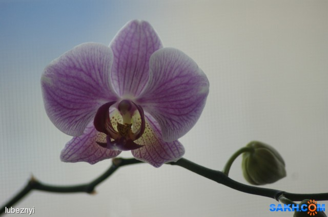 Орхидея Фотограф: NIK  Просмотров: 256 Комментариев: 0