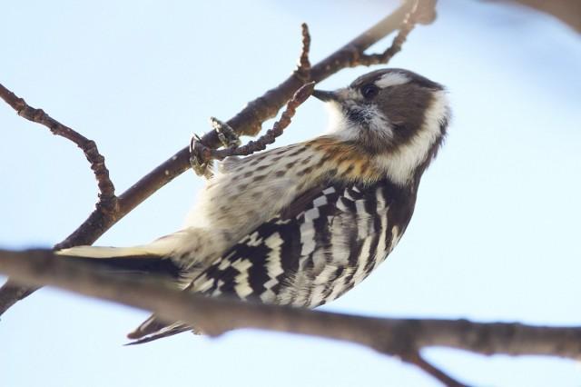 _DSC5927 Фотограф: VictorV Japanese Pygmy Woodpecker  Просмотров: 366 Комментариев: 2