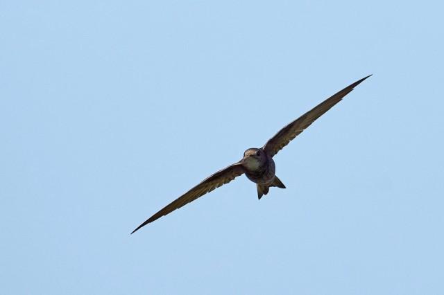 Белопоясный стриж Фотограф: VictorV Fork-tailed Swift  Просмотров: 508 Комментариев: 1
