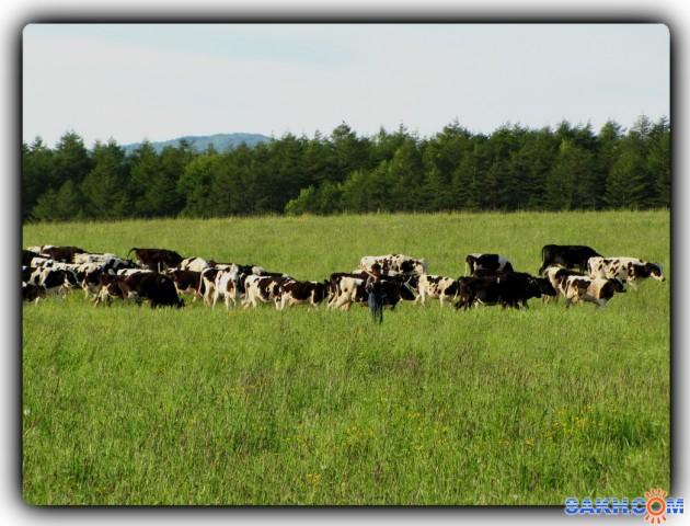 Стадо коров вывело пастуха подышать свежим воздухом)))  Просмотров: 966 Комментариев: 0