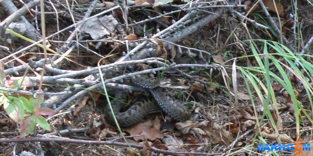 Змея гадюка Шипела на меня... предупреждая. Я пофотала ее и мы мирно разошлись.  Просмотров: 86 Комментариев: 0