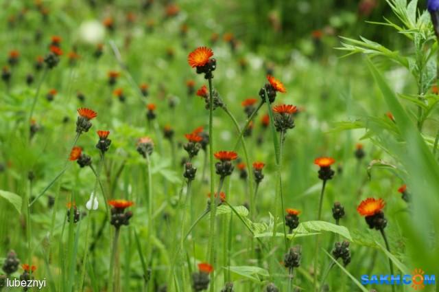 Ястребиночка оранжево-красная Фотограф: NIK  Просмотров: 843 Комментариев: 0