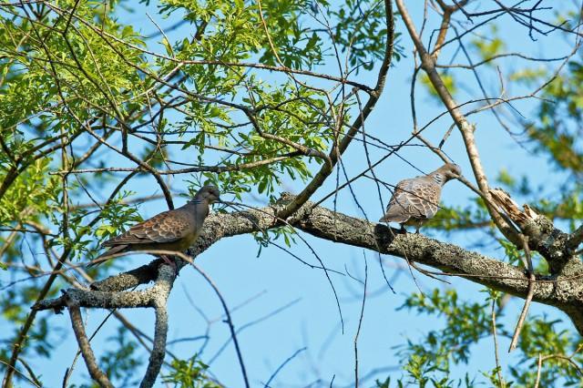 Большие горлицы, пара Фотограф: VictorV Oriental Turtle-dove  Просмотров: 781 Комментариев: 0