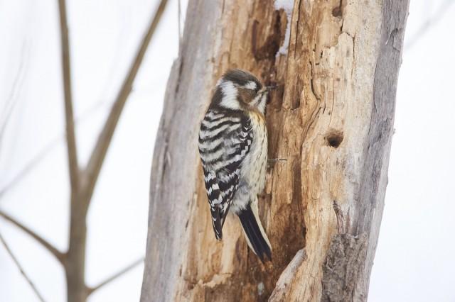 За работой ) Фотограф: VictorV Japanese Pygmy Woodpecker  Просмотров: 414 Комментариев: 0