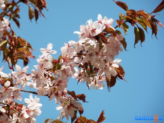 Сакура цветет  Просмотров: 468 Комментариев: 1
