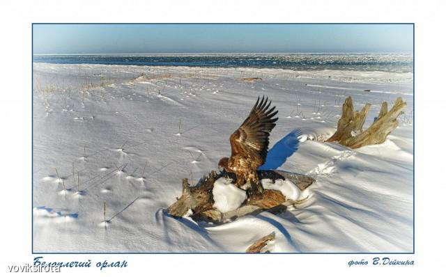 Белоплечий орлан Фотограф: В.Дейкин  Просмотров: 69 Комментариев: 1