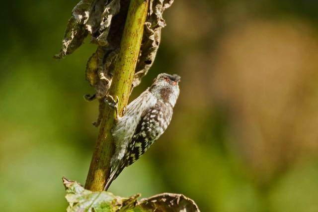 Japanese Pygmy Woodpecker Фотограф: VictorV Малый острокрылый дятел, самец  Просмотров: 499 Комментариев: 3