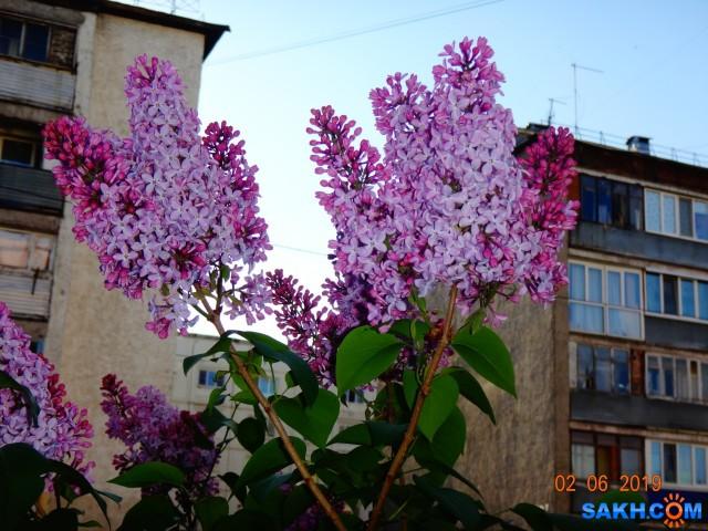 сирень цветёт  Просмотров: 351 Комментариев: 0