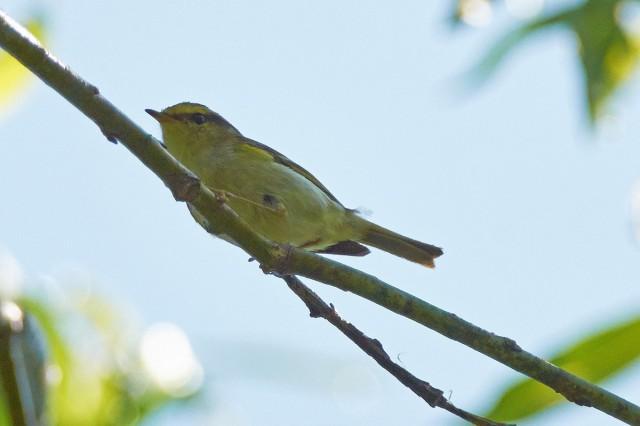Корольковая пеночка Фотограф: VictorV Pallas's Leaf Warbler  Просмотров: 603 Комментариев: 0