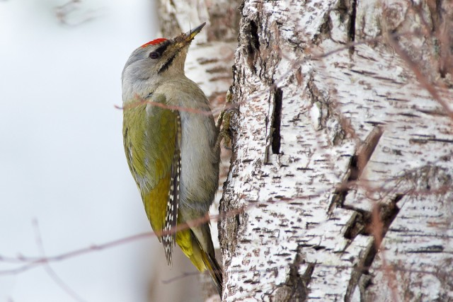 _DSC0410 Фотограф: VictorV Grey-headed Woodpecker  Просмотров: 561 Комментариев: 0