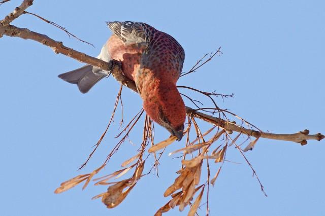 Pine Grosbeak Щур  Просмотров: 270 Комментариев: 0