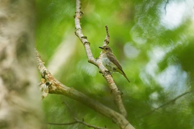 Японская мухоловка, самка Фотограф: VictorV Narcissus Flycatcher, female  Просмотров: 318 Комментариев: 0