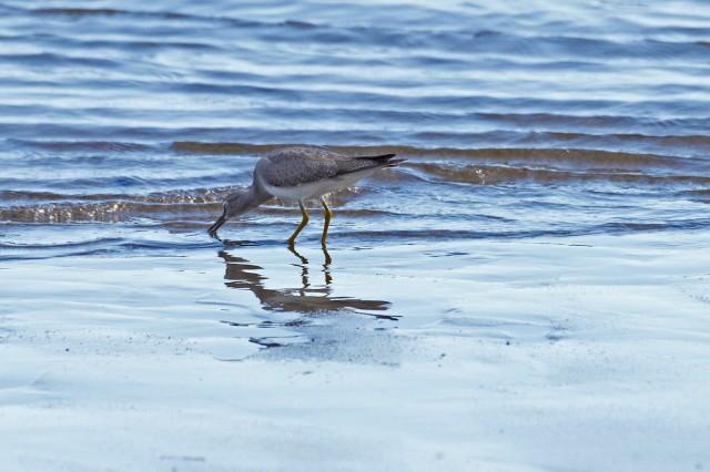 Grey-tailed Tattler Фотограф: VictorV Сибирский пепельный улит  Просмотров: 637 Комментариев: 0