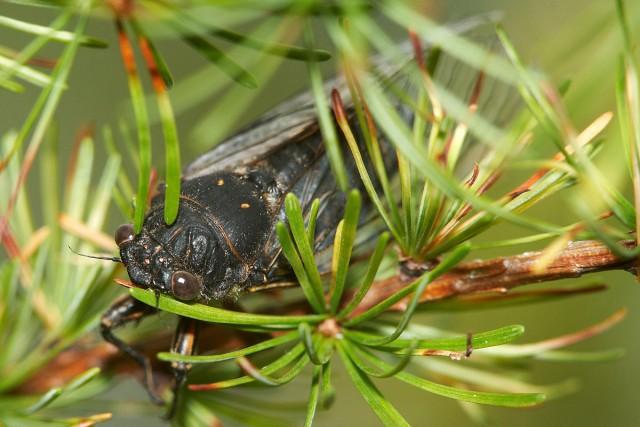 Самое громкое насекомое Фотограф: VictorV  Просмотров: 1840 Комментариев: 0