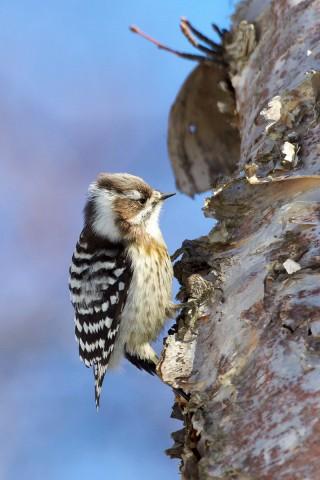 Малый острокрылый дятел Фотограф: VictorV Japanese Pygmy Woodpecker  Просмотров: 1217 Комментариев: 3