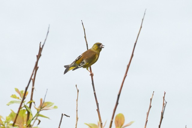 Я тоже петь умею ) Фотограф: VictorV Китайская зеленушка  Просмотров: 450 Комментариев: 0