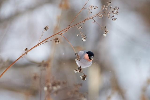 Уссурийский снегирь Фотограф: VictorV  Просмотров: 444 Комментариев: 0
