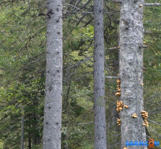 Древесные опята. На соседнем дереве, слева, черная белочка.  Просмотров: 123 Комментариев: 0