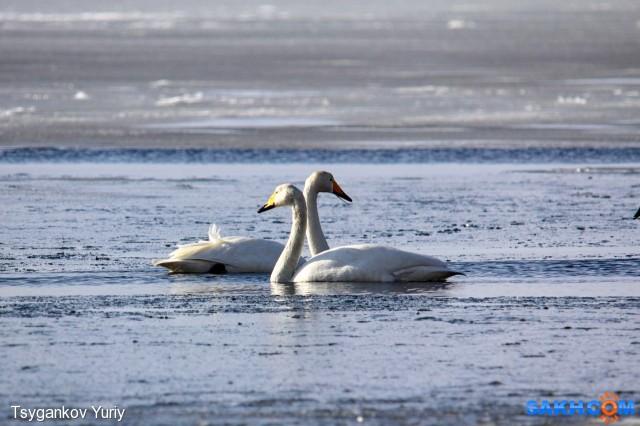 Лебеди. Анивский залив.