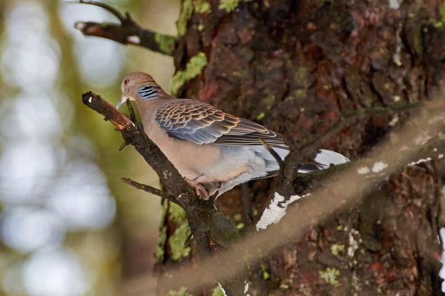 Oriental Turtle-Dove Фотограф: VictorV  Просмотров: 415 Комментариев: 0