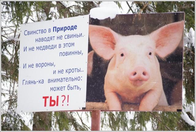 Картинка здесь живет свинья