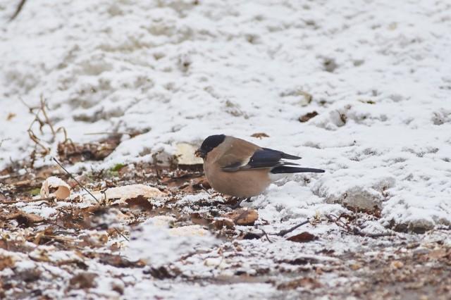 Снегириха ) Фотограф: VictorV  Просмотров: 371 Комментариев: 0