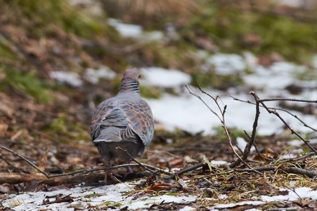 На прогулке ) Фотограф: VictorV Большая горлица  Просмотров: 416 Комментариев: 0