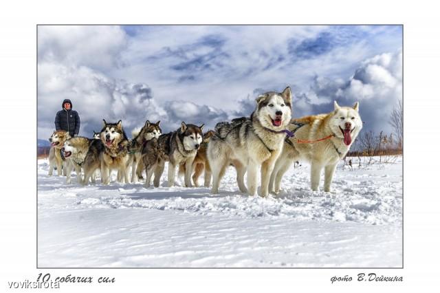 10 собачих сил... Фотограф: В.Дейкин  Просмотров: 125 Комментариев: 5