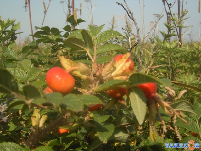 Картинки осень на сахалине с сакурой