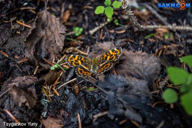Araschnia burejana Фотограф: Tsygankov Yuriy Пестрокрыльница буреинская  Просмотров: 586 Комментариев: 0