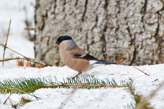 Снегирь, самка Фотограф: VictorV  Просмотров: 496 Комментариев: 0