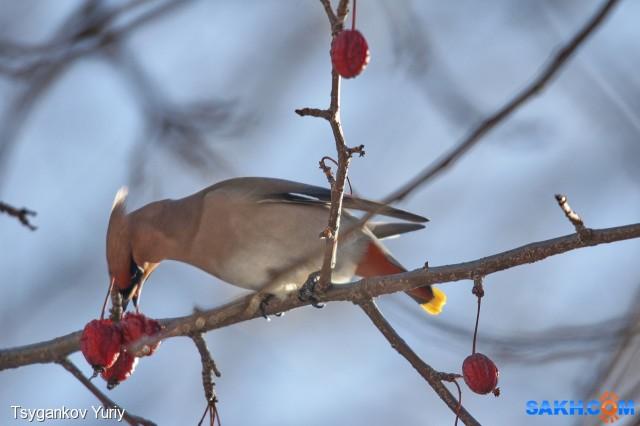 свиристель амурский на райских яблочках Фотограф: Tsygankov Yuriy  Просмотров: 120 Комментариев: 2