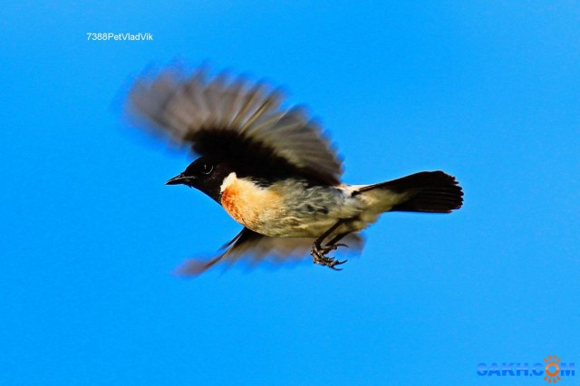 Какая-то птаха в полёте. Фотограф: 7388PetVladVik  Просмотров: 1239 Комментариев: 3