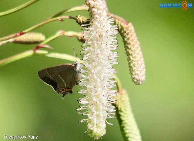 Neozephyrus japonicus Murray Фотограф: Tsygankov Yuriy Зефир японский  Просмотров: 151 Комментариев: 0