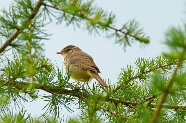Толстоклювая пеночка Фотограф: VictorV Radde's Warbler  Просмотров: 522 Комментариев: 1