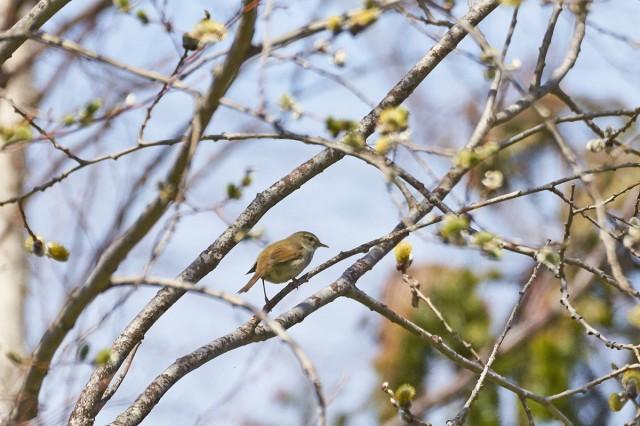 Japanese Bush-warbler Фотограф: VictorV  Просмотров: 392 Комментариев: 0