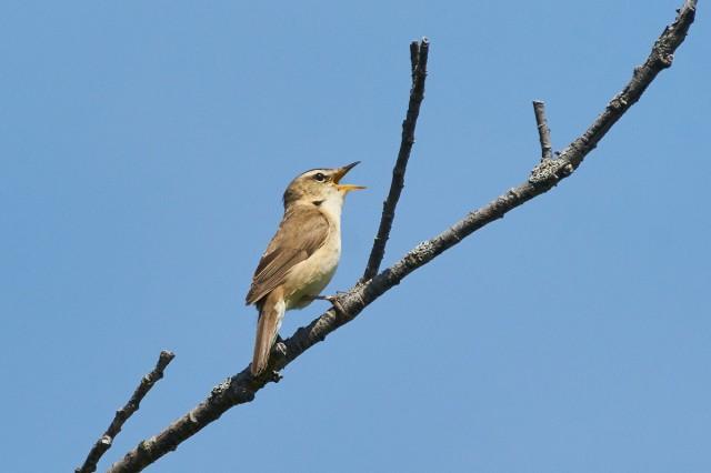 Чернобровая камышевка Фотограф: VictorV Black-browed Reed-warbler  Просмотров: 415 Комментариев: 0