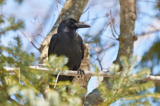 Красавица )) Фотограф: VictorV Большеклювая ворона  Просмотров: 474 Комментариев: 0