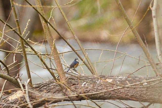 Синехвостка, самец) Фотограф: VictorV  Просмотров: 676 Комментариев: 0