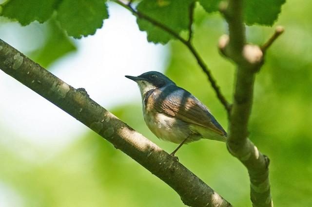 Синий соловей Фотограф: VictorV Siberian Blue Robin  Просмотров: 389 Комментариев: 1