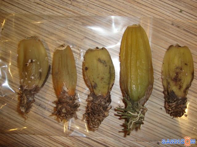 как сажать луковицы орхидей из вьетнама фото избивал глазах