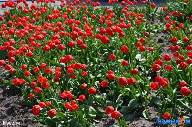 Тюльпаны Фотограф: NIK  Просмотров: 515 Комментариев: 0