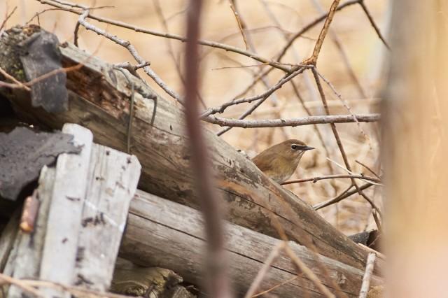 Красношейка, самка ) Фотограф: VictorV  Просмотров: 644 Комментариев: 0
