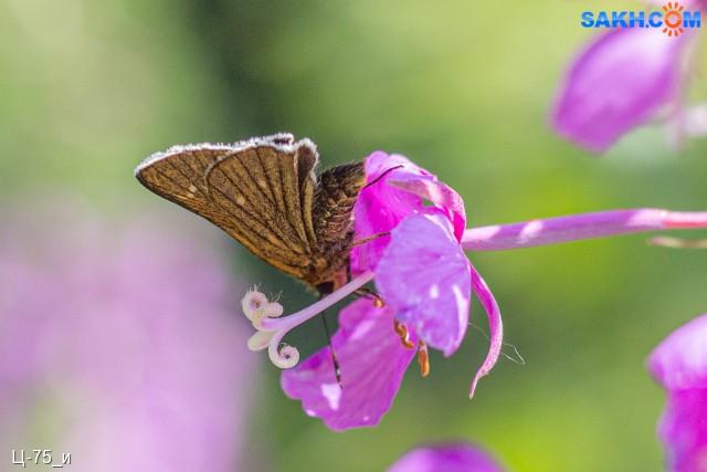 Ochlodus venatus Толстоголовка  Просмотров: 281 Комментариев: 0