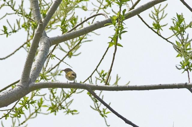 Сахалинская пеночка Фотограф: VictorV Sakhalin Leaf-warbler  Просмотров: 223 Комментариев: 0